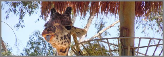 Girafe - Zoo de San Diego