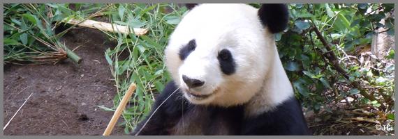 Panda - Zoo de San Diego